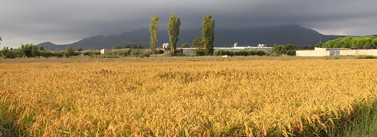 Exigimos una respuesta a la UE ante las importaciones que afectan al precio del arroz