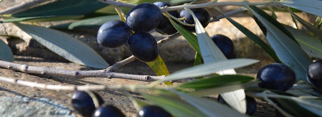 UPA Andalucía reclama a la UE que actúe frente a la decisión de EEUU de mantener los aranceles a la aceituna negra