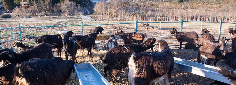 UPA Madrid denuncia que los ataques de lobo al ganado han crecido un 1.500% en tres años