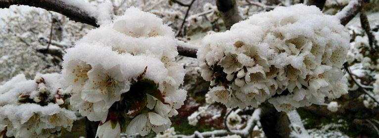 Las bajas temperaturas reducen la producción de cereza