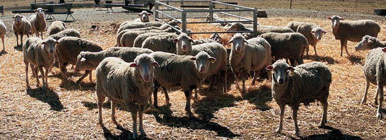 La sequía y los bajos precios 'asfixian' al ovino extremeño
