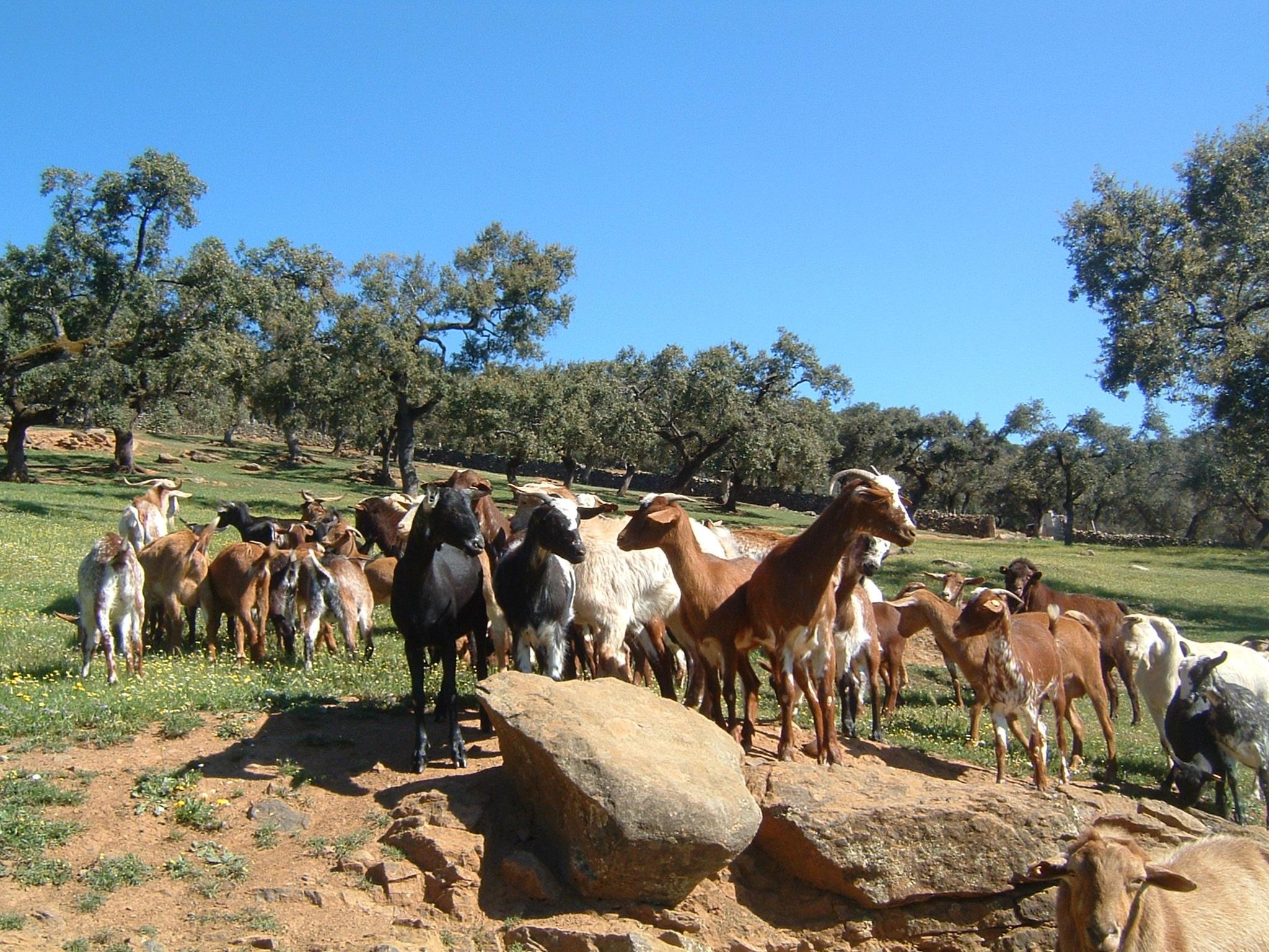 UPA-UCE exige modificar el seguro de pastos para que ofrezca garantías reales a los ganaderos extremeños