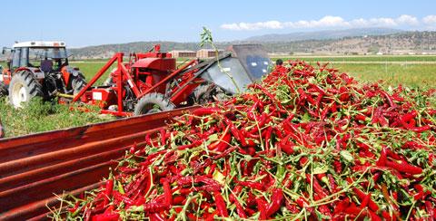 UPA-UCE denuncia los bajos precios que reciben los productores de pimentón