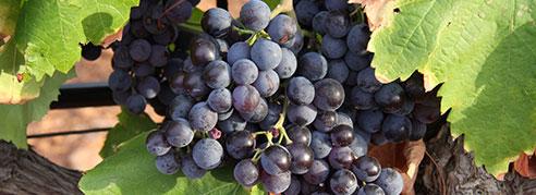 UPA-UCE denuncia los bajos precios de la uva en Castilla la Mancha
