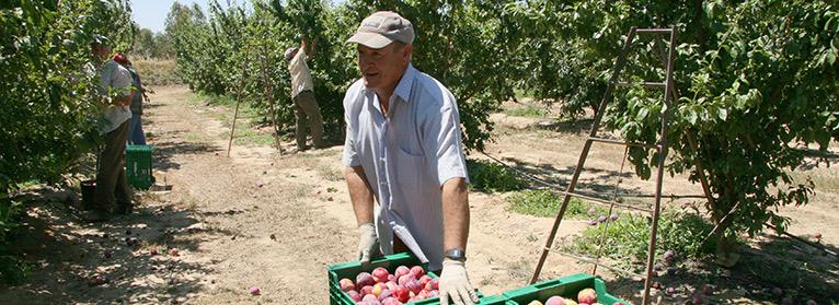 c2f26971b96ed El sector de la fruta de hueso en España ha mostrado su preocupación por la  reducción de consumo detectada en las últimas campañas. ASAJA