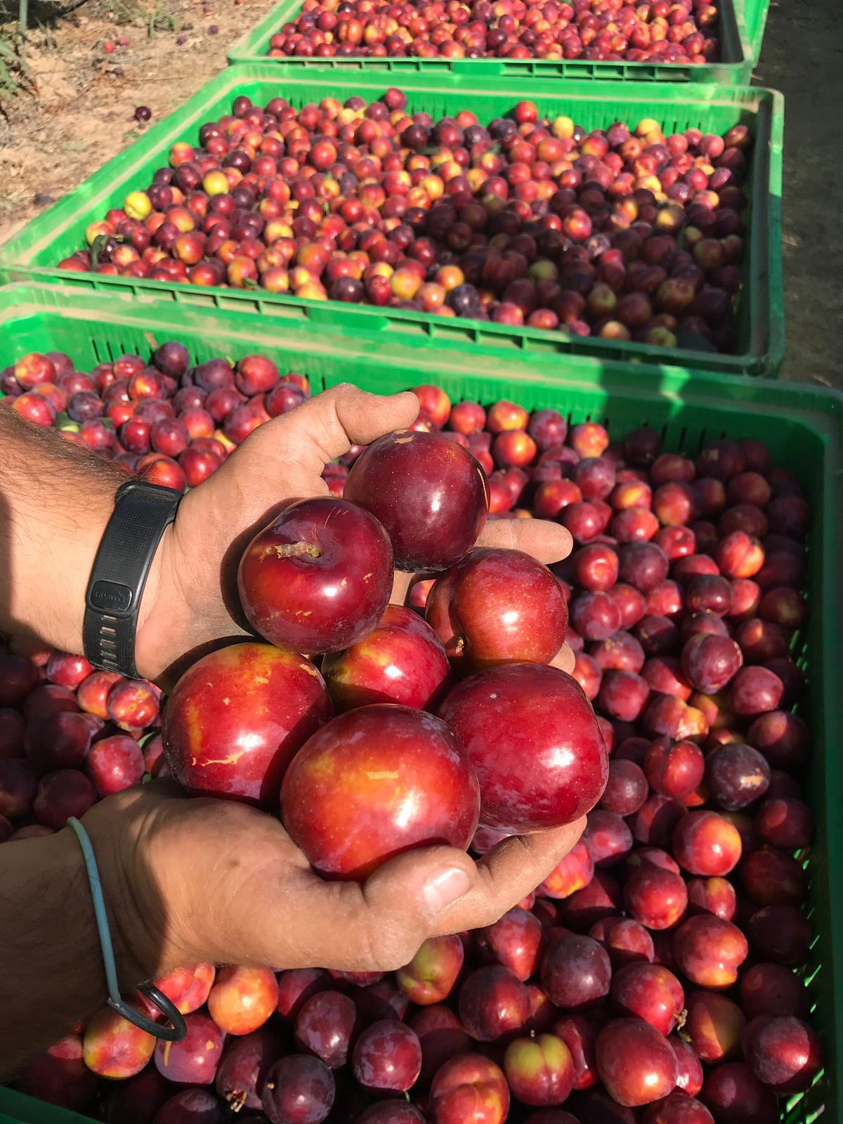 UPA-UCE reclama al Ministerio 'una regulación firme' para la fruta de hueso
