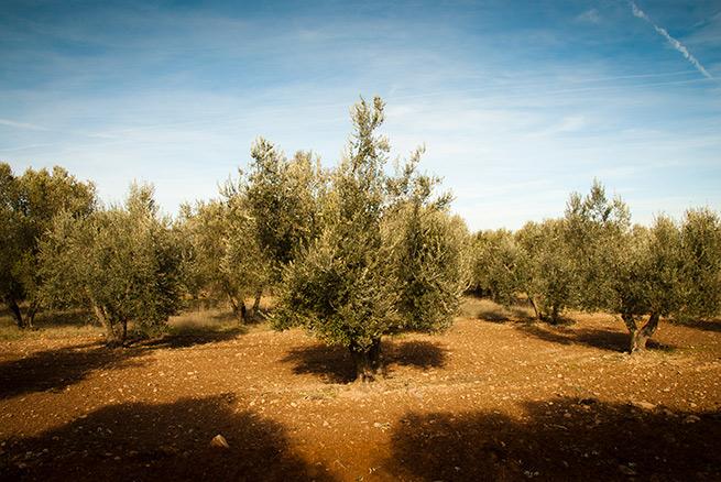olivar-paisaje-655