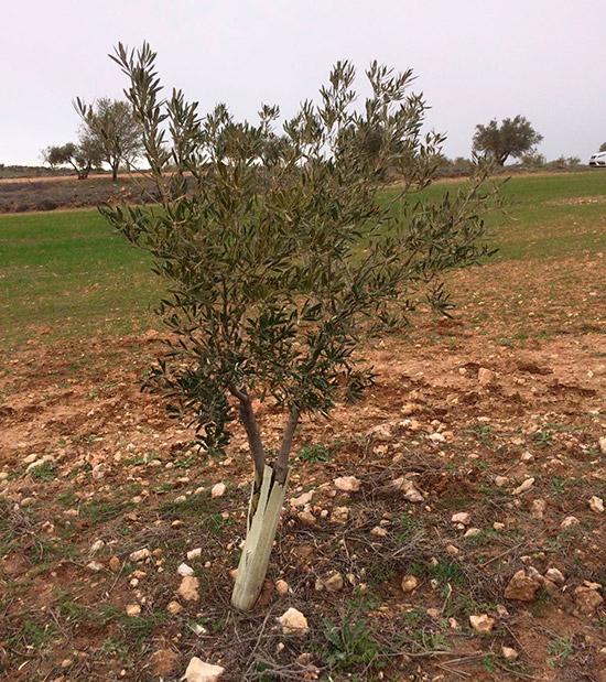 olivo-infectado-xylella-Madrid-baja